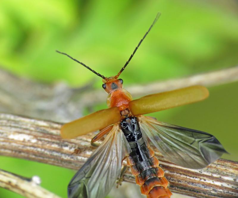 Soldier Beetle - Cantharis livida