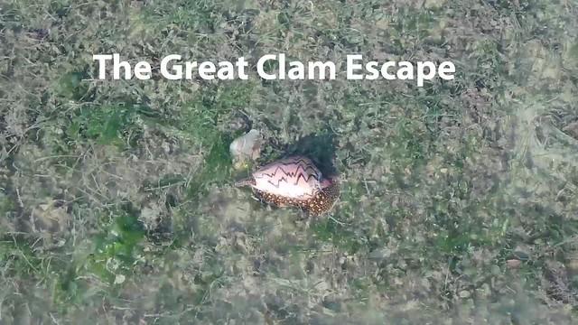 Big brown mactra clam (Mactra grandis) escapes from a Noble volute (Cymbiola nobilis)