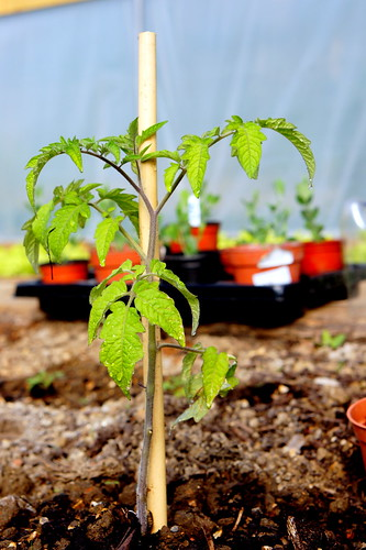 Tomato plant in polytunnel | by the.gray.scale