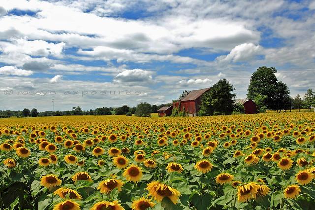 Those Sunflowers
