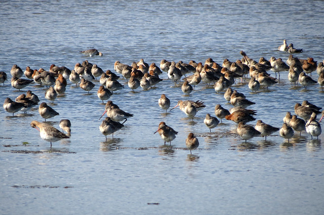 Curlew on Brownsea Island