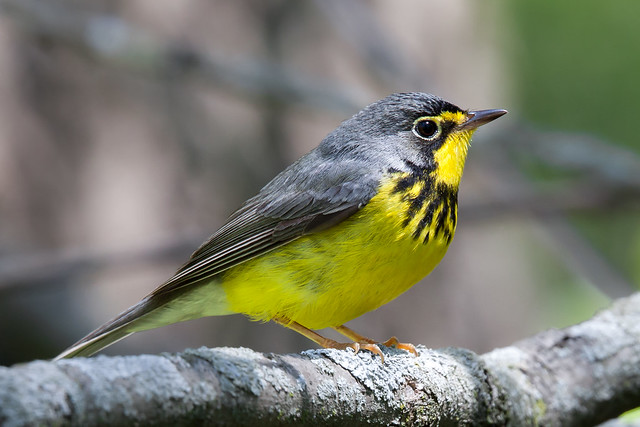 Canada Warbler (male)