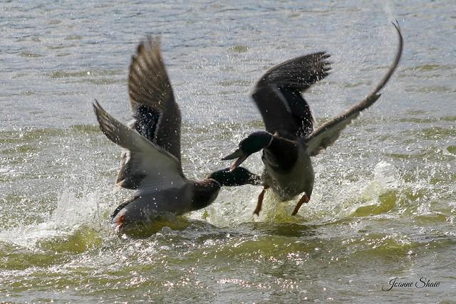IMG_4043EN Duck Fight