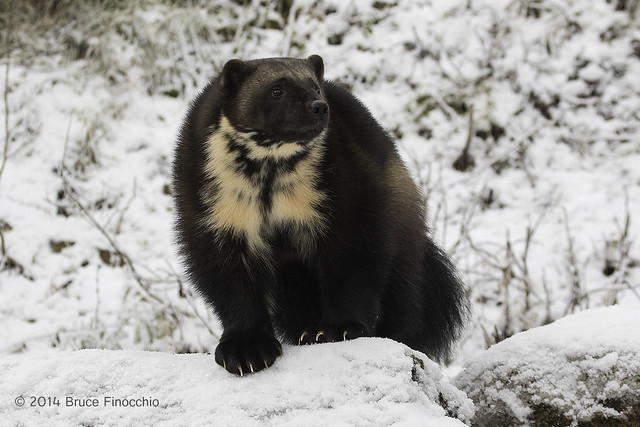 Wolverine On Snow Covered Rocks