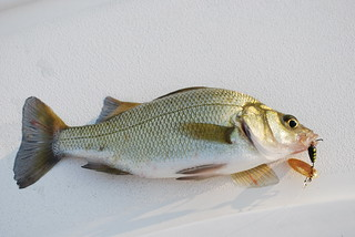 Photo of a white perch