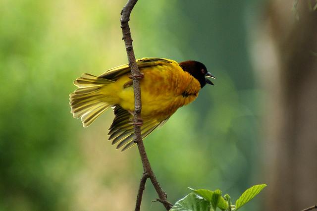 Black Headed Weaver Bird