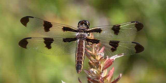 Twelve-spotted Skimmer (female)- Griggstown Grasslands Preserve
