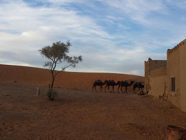 Dromedaries in Merzouga Desert, Morocco - Morocco excursions