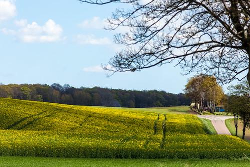 road field yellow photography se countryside skåne spring sweden cropped raps vår f50 rapeseed 2015 682 svedala skånelän rapsfält ef200mmf28lusm canoneos5dmarkii ¹⁄₁₀₀₀sek 2002052015131537