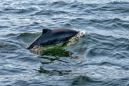 Harbor Porpoise in Puget Sound | A pod of these guys were ...