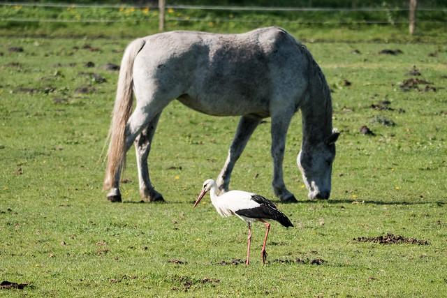 Storchendorf Linum: Storch vor einem Pferd