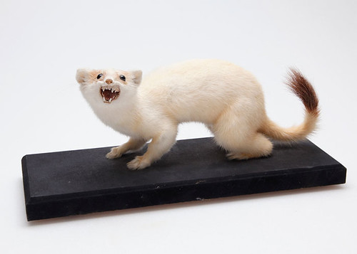 A taxidermied white stoat with a brown tail tip snarls at the camera