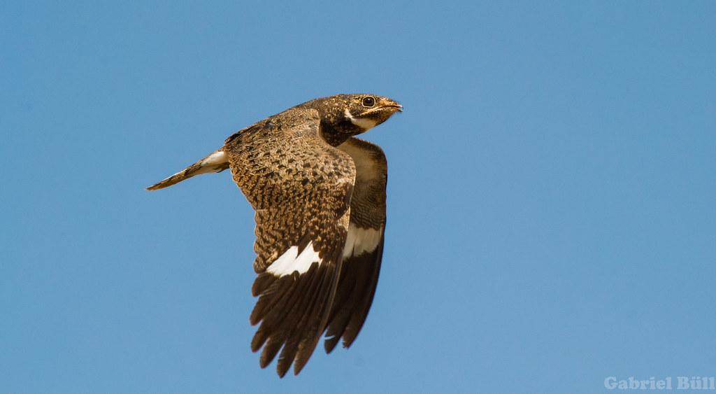 Imagen de una de las aves del Quindio: Añapero Ñacundá (Chordeiles nacunda)