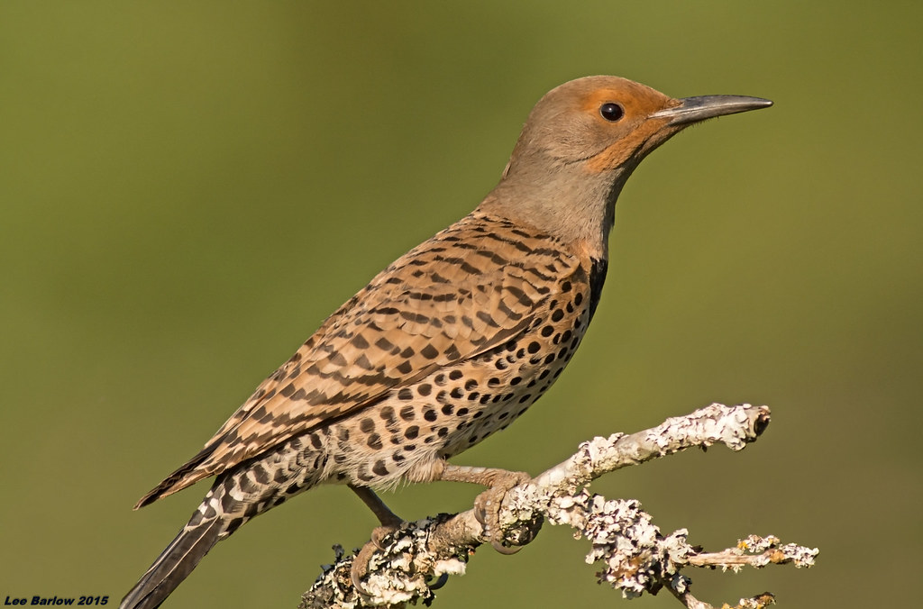 Female Red Shafted Northern Flicker Victoria Bc Colaptes A
