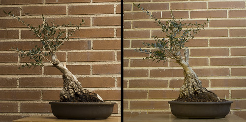 2016-04-13 Bonsai olivo postoperatorio antes y despues small | by marxcubes