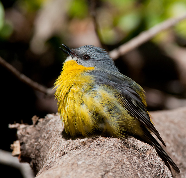 Eastern Yellow Robin at Dorrigo_1577