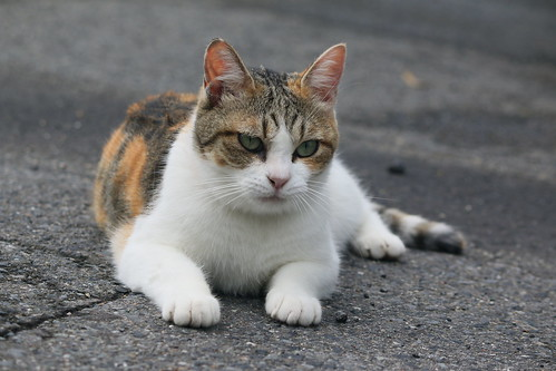 IMG_5308 Calico Japanese cat 縞三毛猫