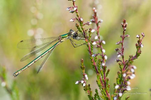dragonfly libellule lestes lestidae odonate lestessponsa lestefiancé zygopteres