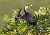 Little Pied Cormorant (Phalacrocorax varius) by Geoff Whalan