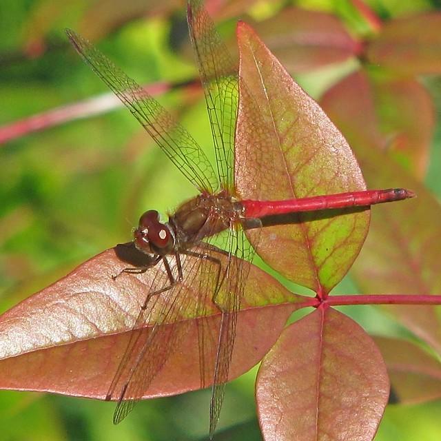 Autumn meadowhawk - finally!