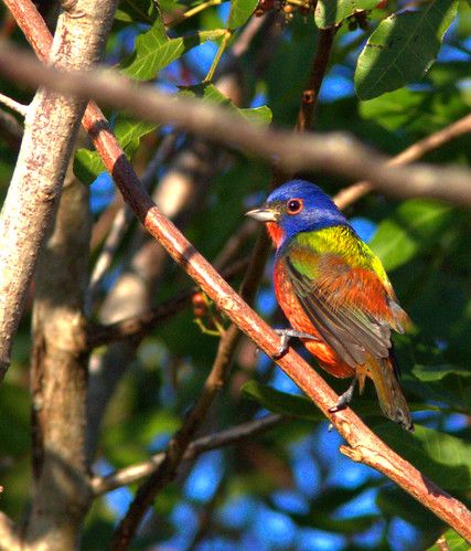 Painted Bunting male 01-20161228