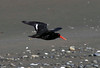 Oystercatcher - Variable Haematopus unicolor by Maureen Pierre