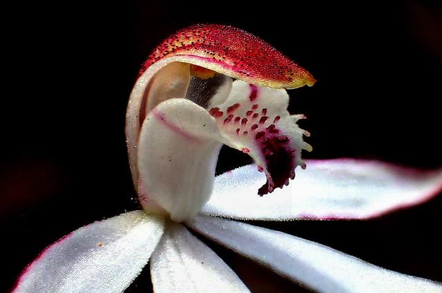 Dark Caladenia ORCHID up close