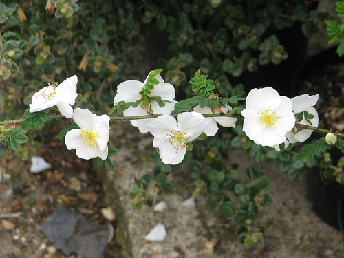 Rosa sericea omeiensis pteracantha   by peganum