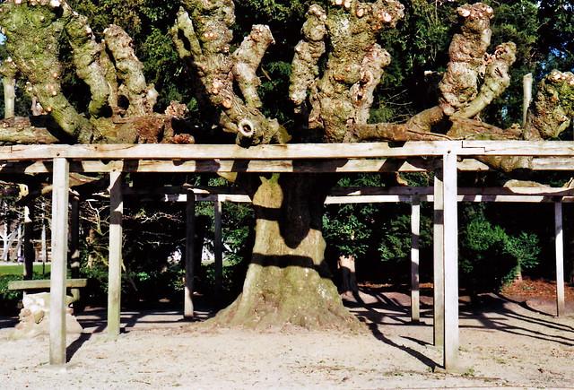 Tanzlinde in Rheine - I shot film