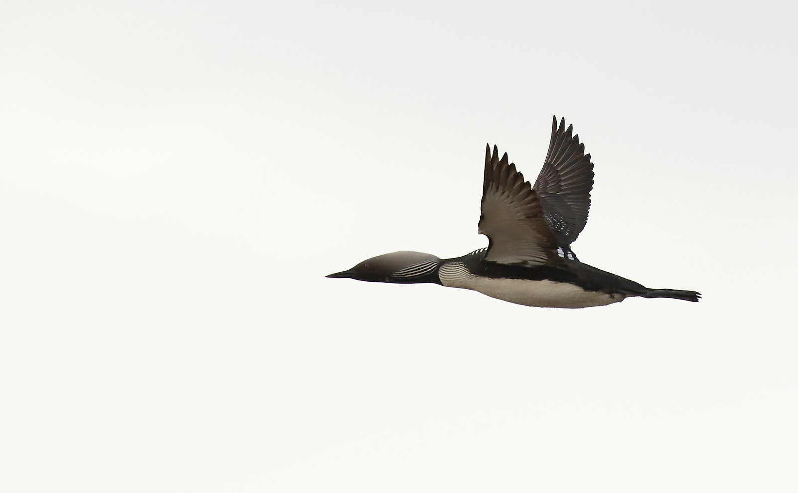 Pacific Loon [Diver]