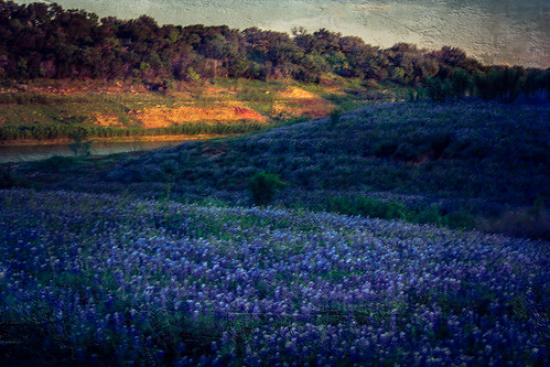 blue us spring texas unitedstates dusk tx hillcountry wildflower bluebonnets marblefalls texaswildflower spicewood muleshoebendrecreationarea