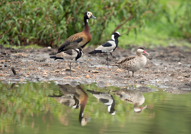 Blacksmith Plover, (Explored), Vanellus armatus, White Faced Whistling Duck, Red-billed Teal, Aiselby Farm, Bulawayo, Zimbabwe