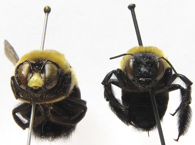 two pinned specimens of black and yellow bees. The left bee has a yellow patch on its face.
