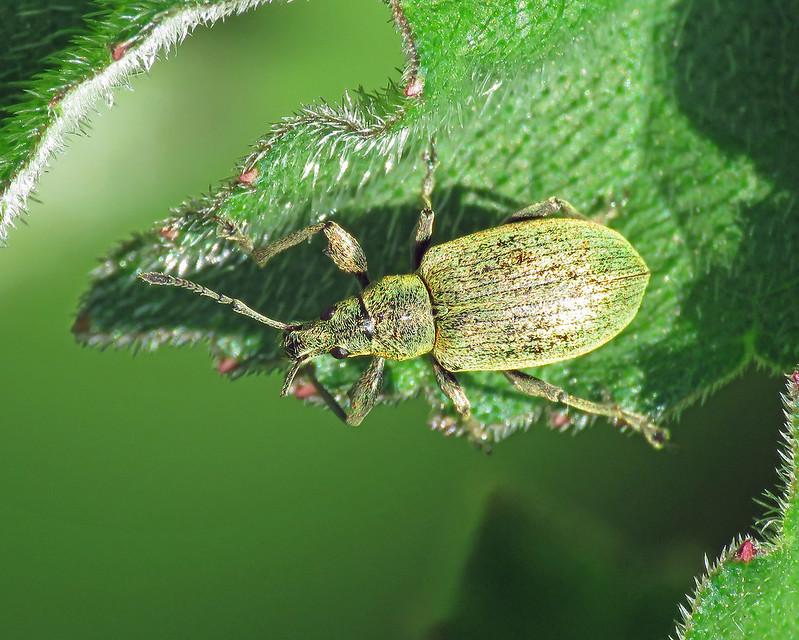 Phyllobius pomaceus