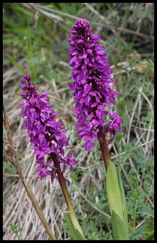Orchis mascula (3) | by Neira Magic'B