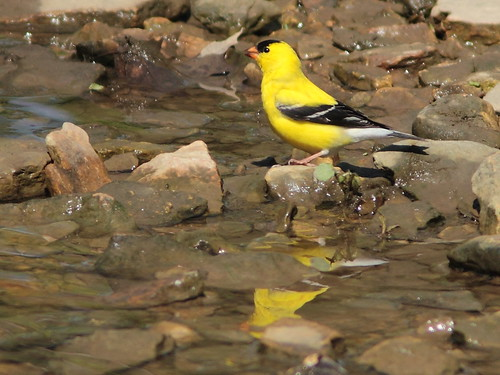 American Goldfinch 03-20160505