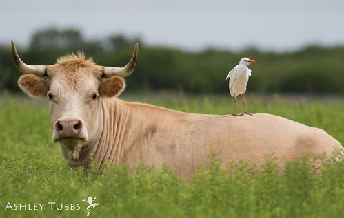 Cattle egret, Bubulcus ibis | by ashleytisme