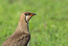 Oriental Pratincole (Close-up)-5646 by Rudy_Whistlingtrails