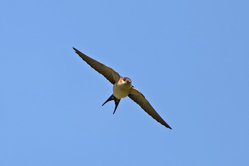 Red-rumped Swallow | by keynowski