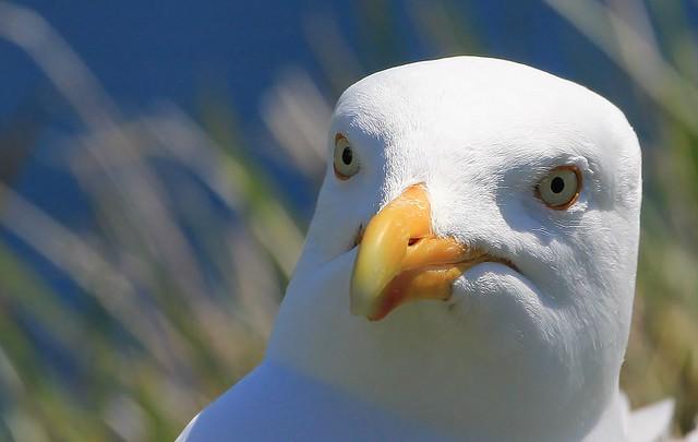Herring Gull nr Dancing Ledge Dorset (7)