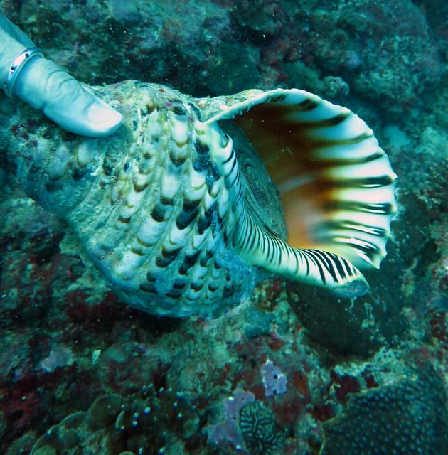 Giant shell, Ifaty