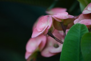 Pink beauty | by kamirao