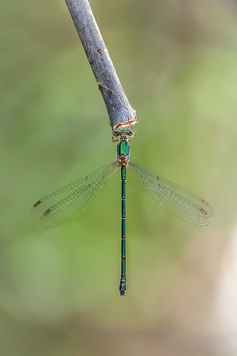 Lestes parvidens ♀ | by macropoulos
