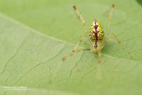 Mirror comb-footed spider (Thwaitesia sp.) - DSC_9878
