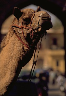 Camel in India | by travelnotes