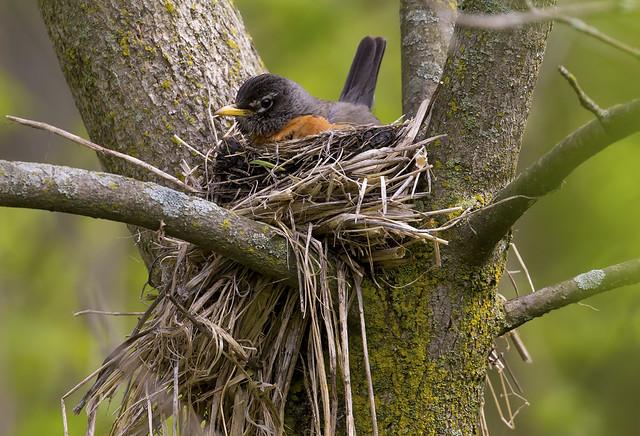 Turdus on the nest