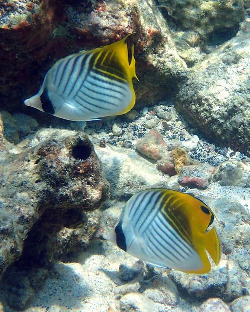 ThreadfinButterflyfish (Cheatodon auriga)