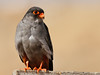 Amur Falcon (1st Cyprus, my discovery) by Cyprus Bird Watching Tours - BIRD is the WORD