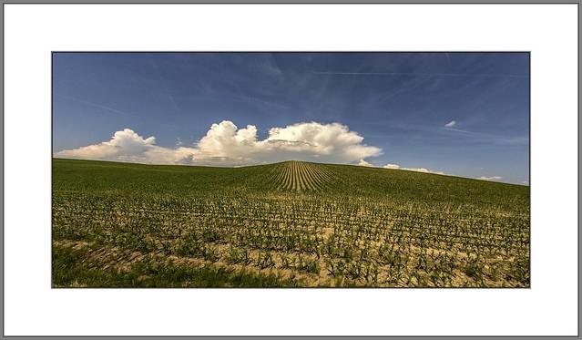 Maisfelder (corn fields)