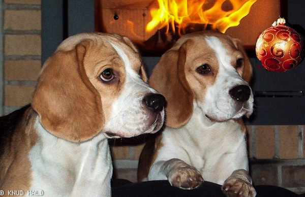 Merry Christmas from Dina and Tanne - our lovely beagles